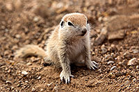 /images/133/2017-05-16-tucson-creatures-1x2_2831.jpg - #13814: Round Tailed Ground Squirrels … May 2017 -- Tucson, Arizona