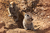 /images/133/2017-05-16-tucson-creatures-4-1x2_2559.jpg - #13815: Round Tailed Ground Squirrels … May 2017 -- Tucson, Arizona