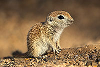 /images/133/2017-05-17-tucson-creatures-1x2_3226.jpg - #13816: Round Tailed Ground Squirrels … May 2017 -- Tucson, Arizona