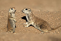 /images/133/2017-05-17-tucson-creatures-2-1x2_3061.jpg - #13817: Round Tailed Ground Squirrels … May 2017 -- Tucson, Arizona