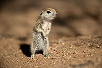 /images/133/2017-05-18-tucson-creatures-1x2_3370.jpg - #13820: Round Tailed Ground Squirrels … May 2017 -- Tucson, Arizona