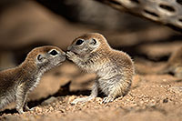 /images/133/2017-05-18-tucson-creatures-1x2_3460.jpg - #13821: Round Tailed Ground Squirrels … May 2017 -- Tucson, Arizona