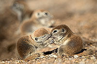/images/133/2017-05-19-tucson-creatures-1x2_3844.jpg - #13823: Round Tailed Ground Squirrels … May 2017 -- Tucson, Arizona