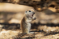 /images/133/2017-05-20-tucson-creatures-1x2_4163.jpg - #13825: Round Tailed Ground Squirrels … May 2017 -- Tucson, Arizona