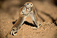 /images/133/2017-05-21-tucson-creatures-1x2_4340.jpg - #13827: Round Tailed Ground Squirrels … May 2017 -- Tucson, Arizona