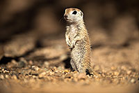 /images/133/2017-05-21-tucson-creatures-1x2_4440.jpg - #13830: Round Tailed Ground Squirrels … May 2017 -- Tucson, Arizona
