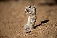 /images/133/2017-05-21-tucson-creatures-1x2_4445.jpg - #13831: Round Tailed Ground Squirrels … May 2017 -- Tucson, Arizona
