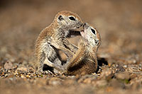 /images/133/2017-05-21-tucson-creatures-1x2_4469.jpg - #13832: Round Tailed Ground Squirrels … May 2017 -- Tucson, Arizona
