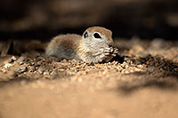 /images/133/2017-05-21-tucson-creatures-1x2_4510.jpg - #13834: Round Tailed Ground Squirrels … May 2017 -- Tucson, Arizona
