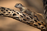 /images/133/2017-05-21-tucson-creatures-1x2_4579.jpg - #13836: Round Tailed Ground Squirrels … May 2017 -- Tucson, Arizona