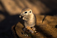 /images/133/2017-05-21-tucson-creatures-1x_46455.jpg - #13826: Round Tailed Ground Squirrels … May 2017 -- Tucson, Arizona