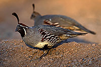 /images/133/2017-05-21-tucson-quail-1x2_4697.jpg - #13842: Gambels Quail male with female in Tucson … May 2017 -- Tucson, Arizona