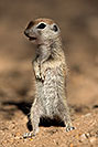 /images/133/2017-05-22-tucson-creatures-1x2_4425v.jpg - #13841: Round Tailed Ground Squirrels … May 2017 -- Tucson, Arizona