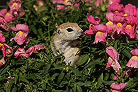 /images/133/2017-05-22-tucson-creatures-1x2_4850.jpg - #13848: Round Tailed Ground Squirrels … May 2017 -- Tucson, Arizona
