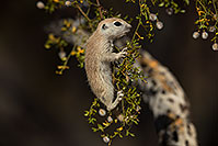 /images/133/2017-05-22-tucson-creatures-1x2_4937.jpg - #13850: Round Tailed Ground Squirrels … May 2017 -- Tucson, Arizona