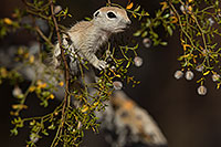/images/133/2017-05-22-tucson-creatures-1x2_4952.jpg - #13851: Round Tailed Ground Squirrels … May 2017 -- Tucson, Arizona