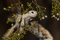 /images/133/2017-05-22-tucson-creatures-1x2_4983.jpg - #13853: Round Tailed Ground Squirrels … May 2017 -- Tucson, Arizona