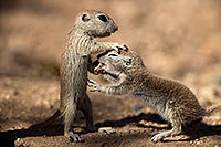 /images/133/2017-05-22-tucson-creatures-1x2_5011.jpg - #13854: Round Tailed Ground Squirrels … May 2017 -- Tucson, Arizona