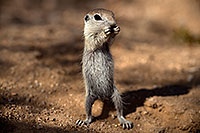 /images/133/2017-05-22-tucson-creatures-1x2_5020.jpg - #13855: Round Tailed Ground Squirrels … May 2017 -- Tucson, Arizona
