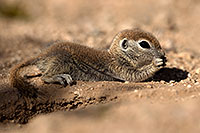 /images/133/2017-05-22-tucson-creatures-1x2_5038.jpg - #13856: Round Tailed Ground Squirrels … May 2017 -- Tucson, Arizona