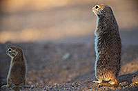 /images/133/2017-05-23-tucson-creatures-1-2-1x2_5420.jpg - #13858: Round Tailed Ground Squirrels … May 2017 -- Tucson, Arizona