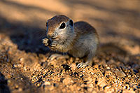 /images/133/2017-05-23-tucson-creatures-1x_47392.jpg - #13859: Round Tailed Ground Squirrel standing … May 2017 -- Tucson, Arizona