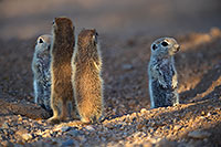 /images/133/2017-05-23-tucson-creatures-7-8-1x2_5416.jpg - #13862: Round Tailed Ground Squirrels … May 2017 -- Tucson, Arizona