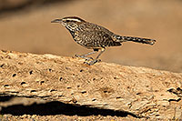 /images/133/2017-05-23-tucson-wren-1x2_5260.jpg - #13863: Cactus Wren … May 2017 -- Tucson, Arizona