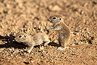 /images/133/2017-05-24-tucson-creatures-12-1x_46862.jpg - #13867: Round Tailed Ground Squirrels … May 2017 -- Tucson, Arizona