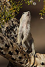 /images/133/2017-05-24-tucson-creatures-1x2_5451v.jpg - #13880: Round Tailed Ground Squirrels … May 2017 -- Tucson, Arizona