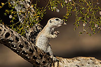 /images/133/2017-05-24-tucson-creatures-1x2_5455.jpg - #13881: Round Tailed Ground Squirrels … May 2017 -- Tucson, Arizona