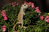 /images/133/2017-05-24-tucson-creatures-1x2_5504.jpg - #13882: Round Tailed Ground Squirrels … May 2017 -- Tucson, Arizona