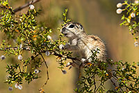 /images/133/2017-05-24-tucson-creatures-1x2_5546.jpg - #13886: Round Tailed Ground Squirrels … May 2017 -- Tucson, Arizona