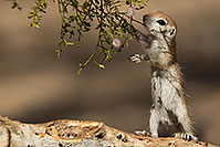 /images/133/2017-05-24-tucson-creatures-1x2_5557.jpg - #13887: Round Tailed Ground Squirrels … May 2017 -- Tucson, Arizona