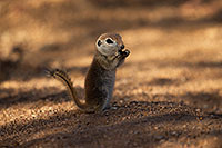 /images/133/2017-05-24-tucson-creatures-1x_46865.jpg - #13868: Round Tailed Ground Squirrels … May 2017 -- Tucson, Arizona