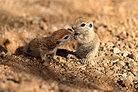 /images/133/2017-05-24-tucson-creatures-1x_46882.jpg - #13869: Round Tailed Ground Squirrels … May 2017 -- Tucson, Arizona