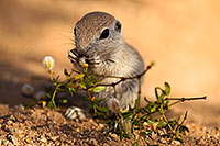 /images/133/2017-05-24-tucson-creatures-1x_46901.jpg - #13870: Round Tailed Ground Squirrels … May 2017 -- Tucson, Arizona