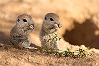 /images/133/2017-05-24-tucson-creatures-1x_46911.jpg - #13871: Round Tailed Ground Squirrels … May 2017 -- Tucson, Arizona