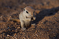 /images/133/2017-05-24-tucson-creatures-1x_47162.jpg - #13872: Round Tailed Ground Squirrels … May 2017 -- Tucson, Arizona