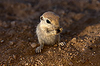 /images/133/2017-05-24-tucson-creatures-1x_47192.jpg - #13873: Round Tailed Ground Squirrels … May 2017 -- Tucson, Arizona