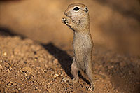 /images/133/2017-05-24-tucson-creatures-1x_47220.jpg - #13874: Round Tailed Ground Squirrel standing … May 2017 -- Tucson, Arizona