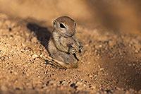 /images/133/2017-05-24-tucson-creatures-1x_47235.jpg - #13876: Round Tailed Ground Squirrels … May 2017 -- Tucson, Arizona
