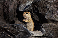 /images/133/2017-05-26-tucson-creatures-1dx_47479.jpg - #13894: Ground Squirrels in Tucson … May 2017 -- Tucson, Arizona
