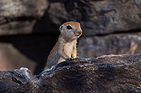 /images/133/2017-05-26-tucson-creatures-1dx_47491.jpg - #13896: Ground Squirrels in Tucson … May 2017 -- Tucson, Arizona