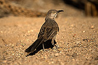 /images/133/2017-06-17-tucson-thrasher-1x_51739.jpg - #13905: Curved Bill Thrasher in Tucson … June 2017 -- Tucson, Arizona