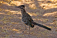 /images/133/2017-06-22-catalina-roadr-tz-1x_54232.jpg - #13912: Roadrunner in Santa Catalina Mountains … June 2017 -- Santa Catalina Mountains, Arizona