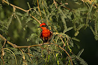 /images/133/2017-06-26-catalina-flycat-1x_55001.jpg - #13917: Vermillion Flycatcher in Santa Catalina Mountains … June 2017 -- Santa Catalina Mountains, Arizona