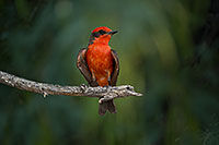 /images/133/2017-06-26-catalina-flycat-97-1x_54919.jpg - #13919: Vermillion Flycatcher in Santa Catalina Mountains … June 2017 -- Santa Catalina Mountains, Arizona