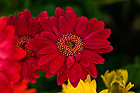 /images/133/2018-04-11-gv-gerber-mi75-42-a7r3_0741.jpg - #14267: Gerber Daisies in Green Valley, Arizona … April 2018 -- Green Valley, Arizona