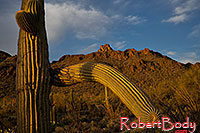 /images/133/2018-04-11-tuc-mtns-cactus-mi77-1-2-a7r3_0810.jpg - #14274: Saguaro in the evening at Tucson Mountains, Arizona … April 2018 -- Tucson Mountains, Arizona